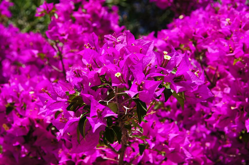 How to plant bougainvillea climber