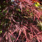 Acer palmatum 'Dissectum Atropurpureum' (Laceleaf Japanese maple 'Dissectum Atropurpureum')