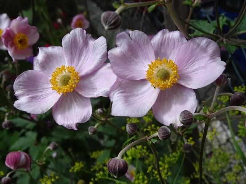 Anemone japonica (Japanese anemone) - dearplants.com