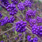 Callicarpa bodinieri - Beautyberry - purple berries in fall