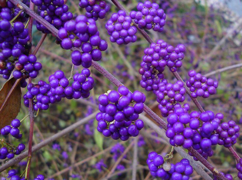 Callicarpa bodinieri - Beautyberry - purple berries in fall