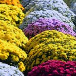 Chrysanthemum - dearplants.com
