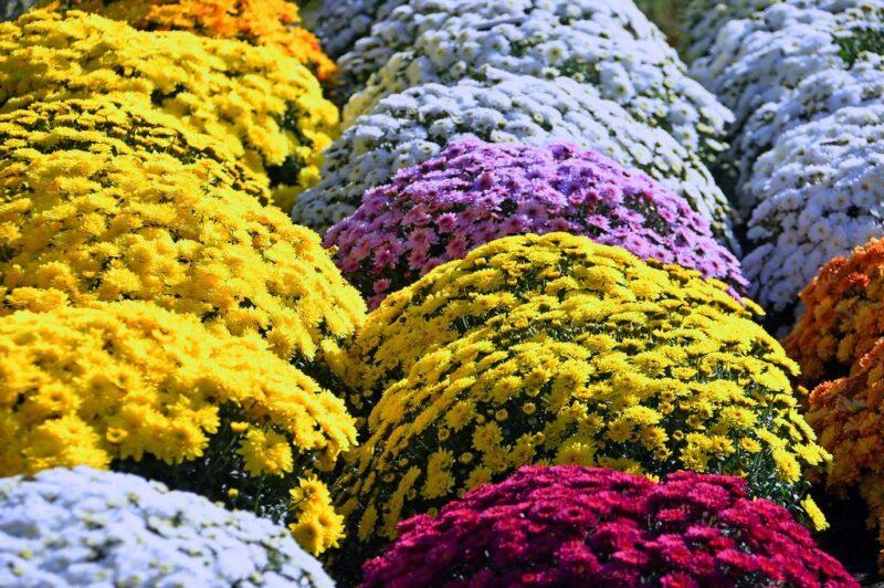 Chrysanthemum - dearplants.com