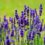 How to plant Lavandula angustifolia (Lavender)