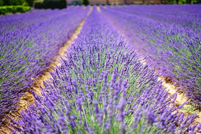 How to plant Lavandula angustifolia (Lavender) - Common lavender field