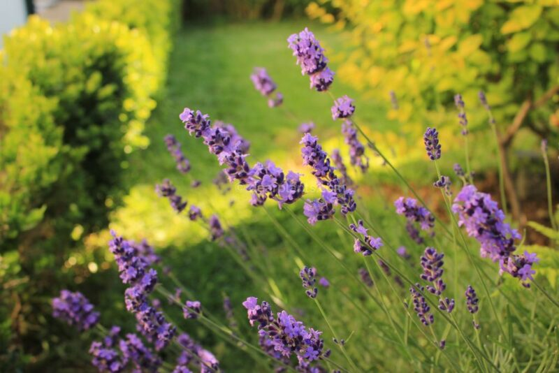How to plant Lavandula angustifolia (Lavender) - Lavender in garden