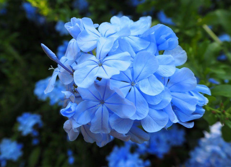 How to plant Plumbago auriculata (Cape leadwort) - dearplants