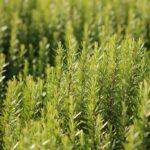 How to plant Rosmarinus officinalis (Rosemary) - dearplants