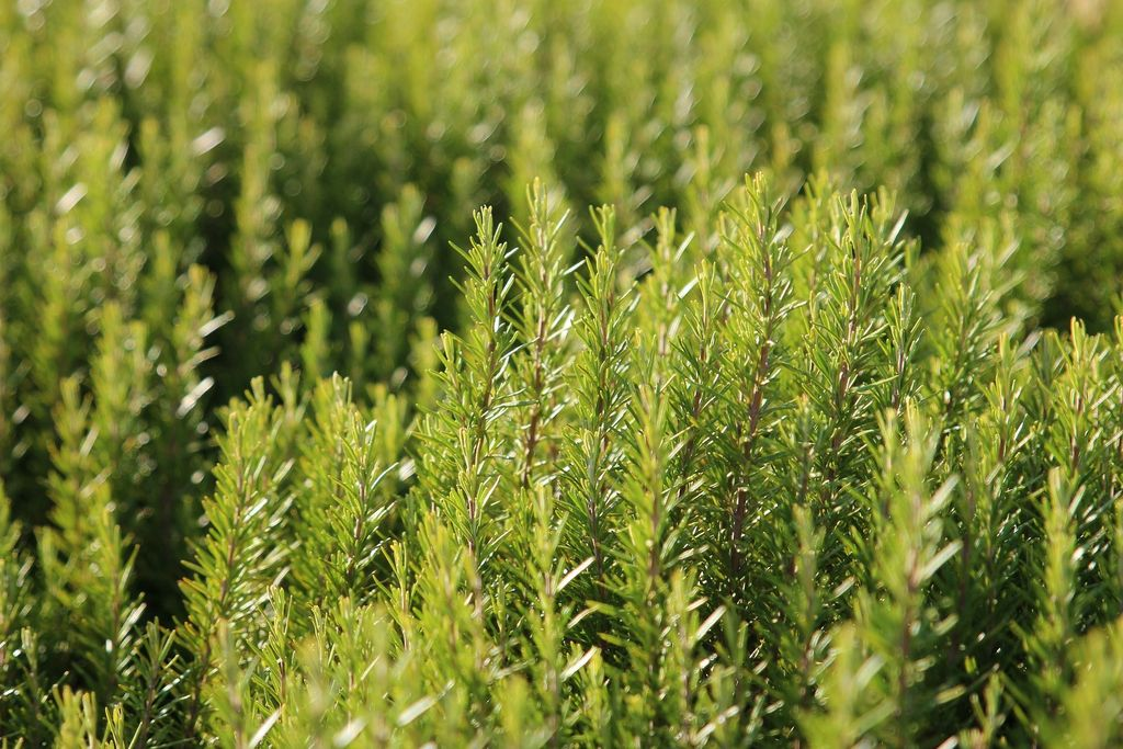 How to plant Rosmarinus officinalis (Rosemary) - dearplants