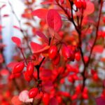 How-to-propagate-berberis-by-cuttings-barberry-dearplants