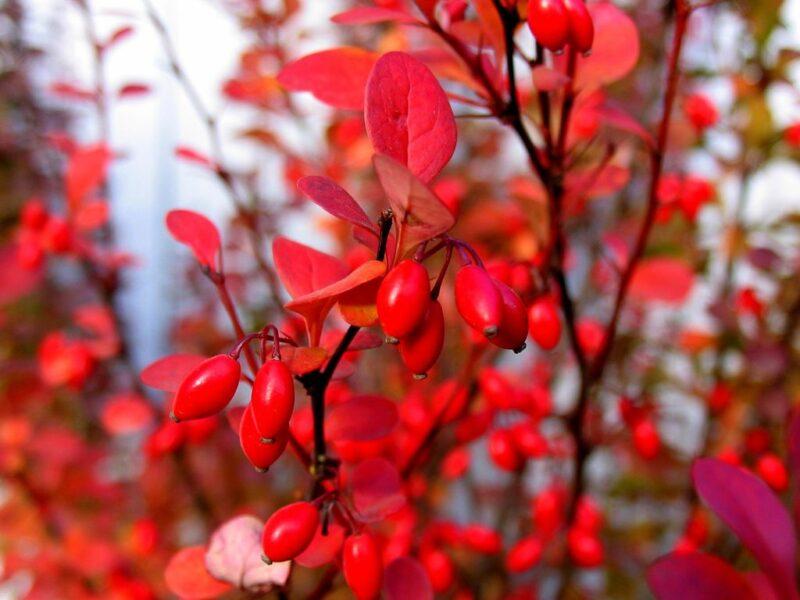 How-to-propagate-berberis-by-cuttings-barberry-dearplants