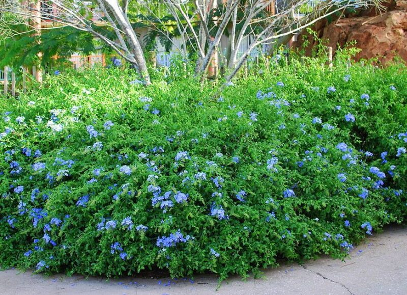 Plumbago auriculata (Cape leadwort) - dearplants