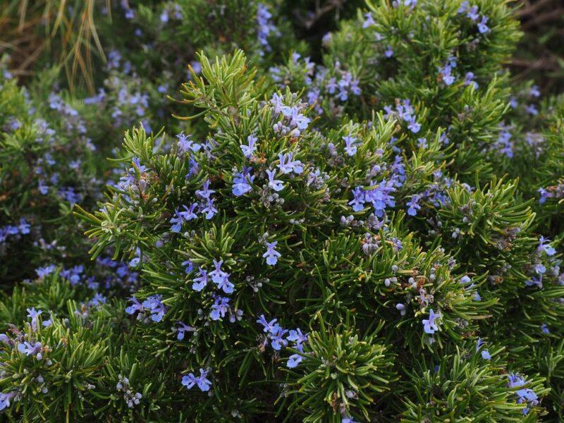 Rosmarinus officinalis (Rosemary) - dearplants