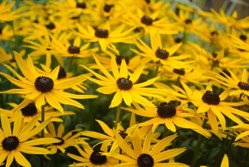 Rudbeckia fulgida (black-eyed Susan) - dearplants.com