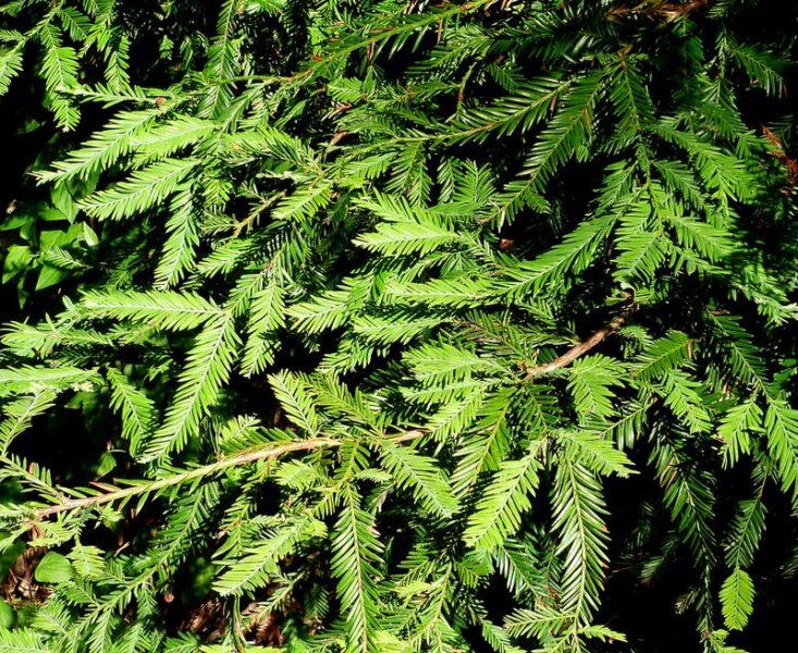 Sequoia sempervirens (Coastal redwood) leaves