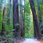 Sequoia sempervirens (Coastal redwood) tree