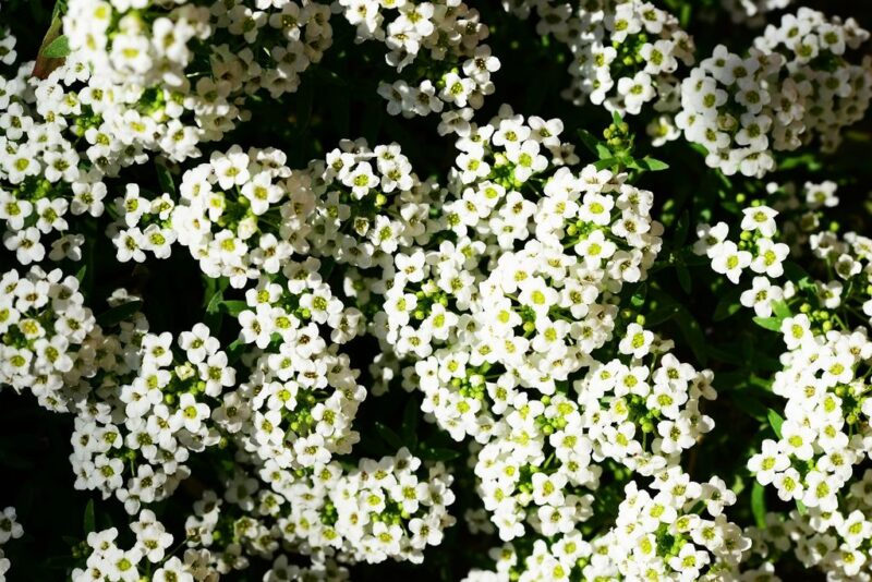 Sweet Alyssum (Lobularia maritima) - dearplants.com