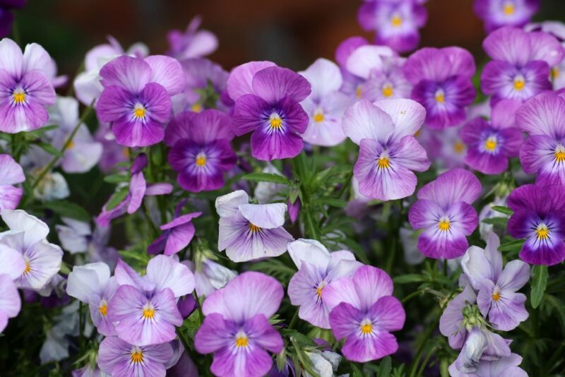 Viola tricolor (Pansy) - dearplants.com