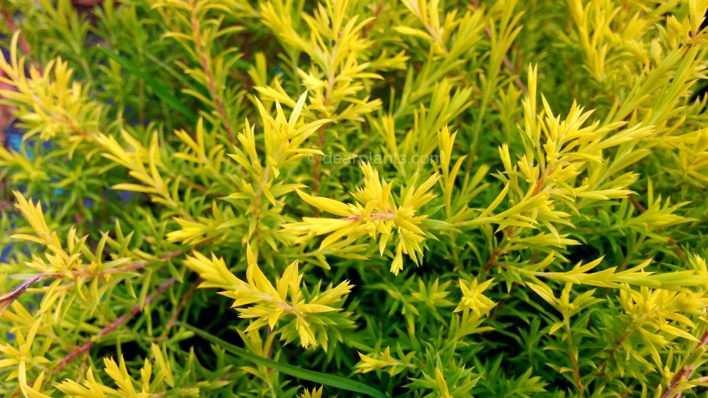 Diosma hirsuta 'sunset gold' - Fisherman's plant 'Sunset Gold'