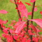 Euonymus alatus 'Compactus' (Burning bush, Compact winged spindle tree)