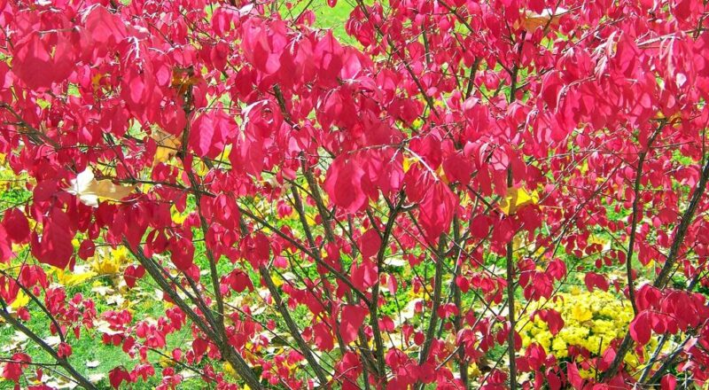 Euonymus alatus 'Compactus' (Burning bush, Compact winged spindle tree) - Red autumn foliage