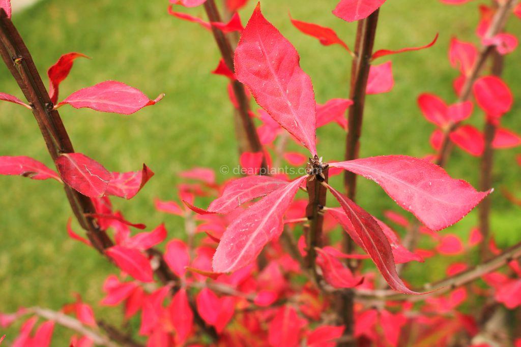 Euonymus alatus 'Compactus' (Burning bush, Compact winged spindle tree)