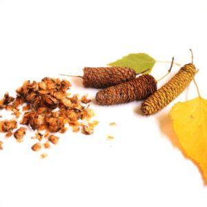 Betula pendula (Silver birch) seeds
