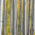 How to plant-Betula-Birch