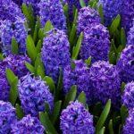 Hyacinthus orientalis (Hyacinth)