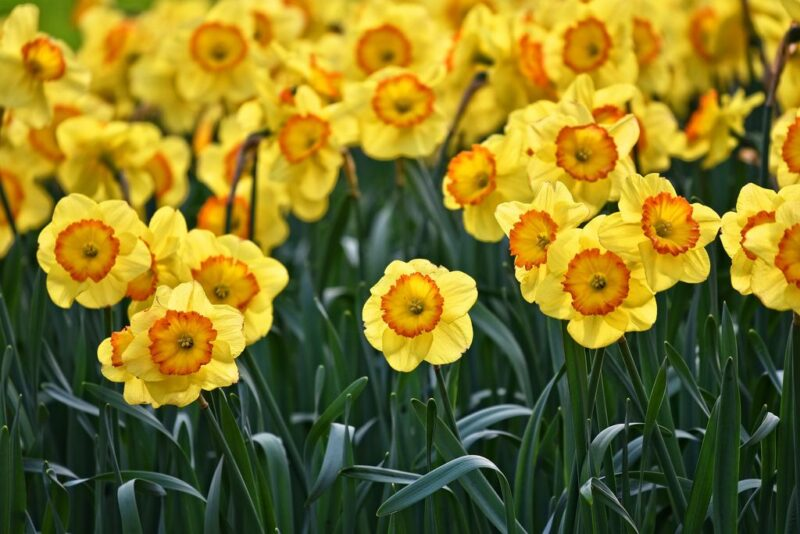 Daffodil (Narcissus) bulb plants