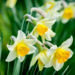 Daffodil (Narcissus) white and yellow flower