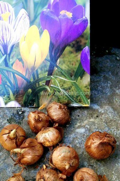 Planting Crocus bulbs in pots