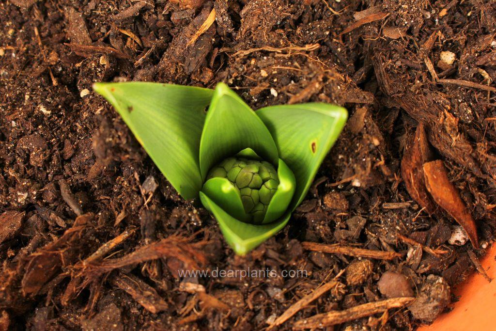How to plant flower bulbs in pots - dearplants.com