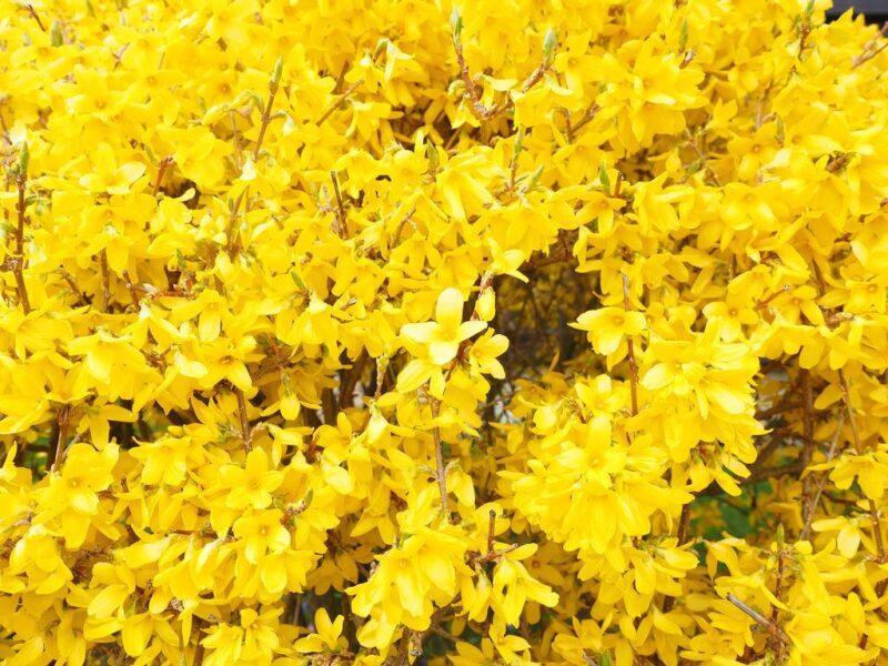 Forsythia flowering in spring