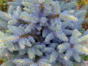 Picea pungens (Colorado Spruce)