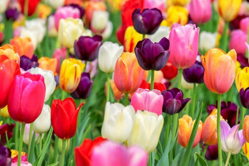 Tulipa (Tulip) flower color palette