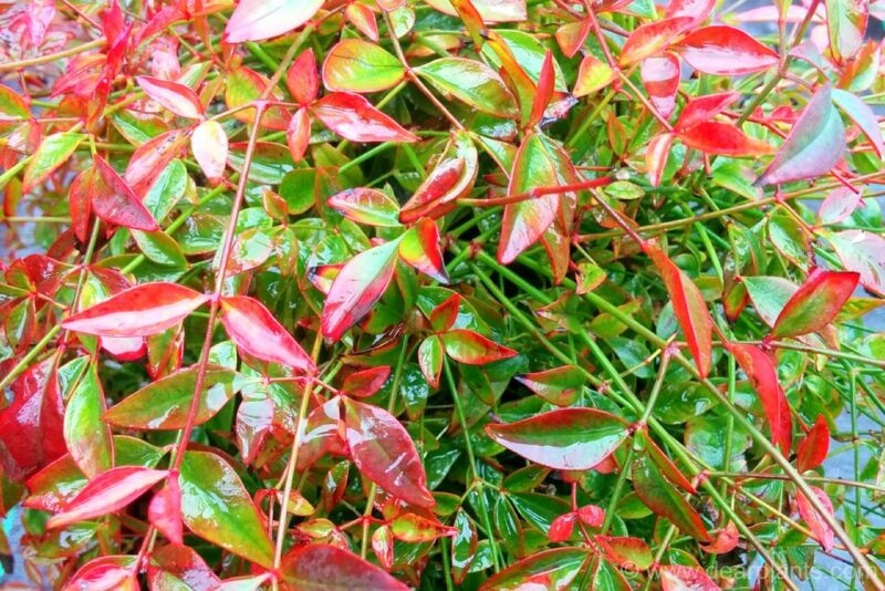 How to divide Nandina domestica - bushy compact plant - dearplants.com