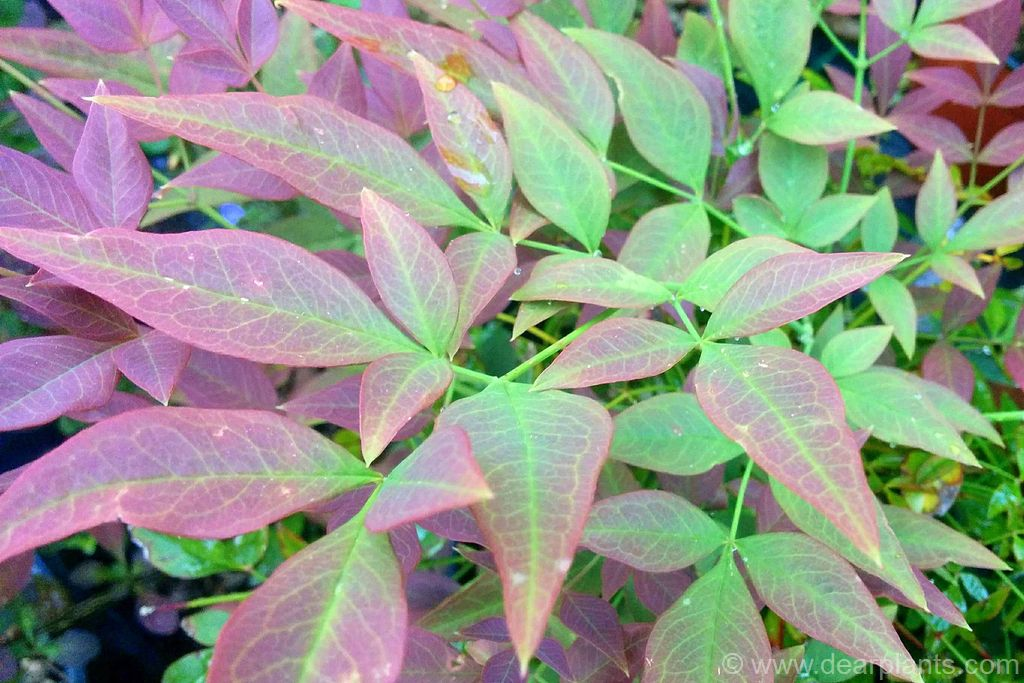 How to divide Nandina domestica - dearplants.com
