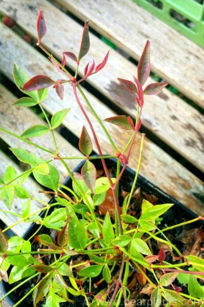 How to divide Nandina domestica - new leaves in divided plant - dearplants.com