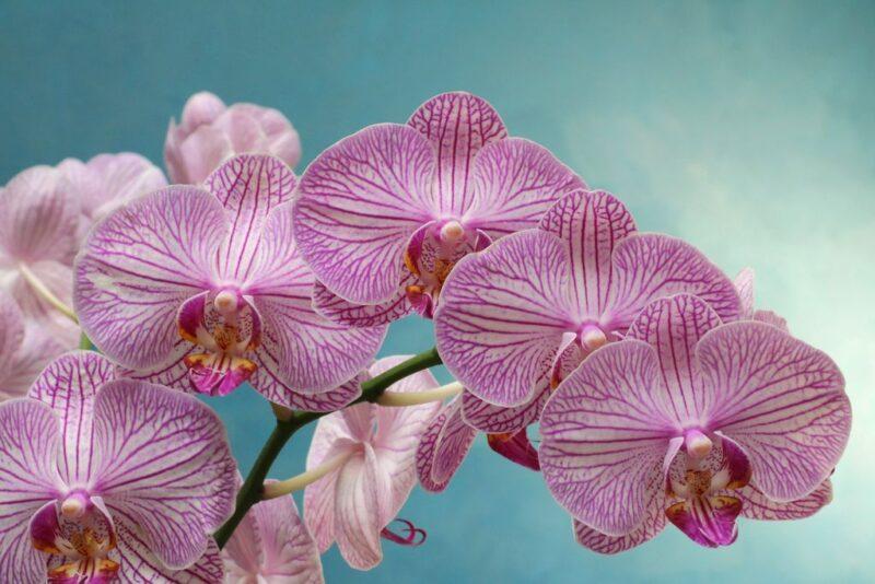 Orchid flowers - dearplants.com