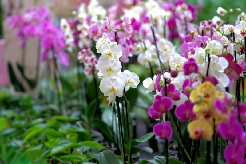 Orchids mix - dearplants.com
