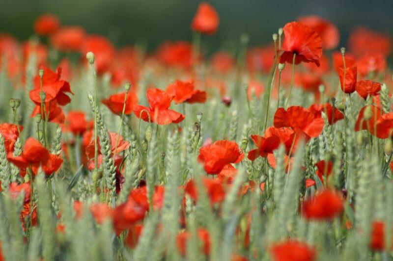 Poppy garden - dearplants.com