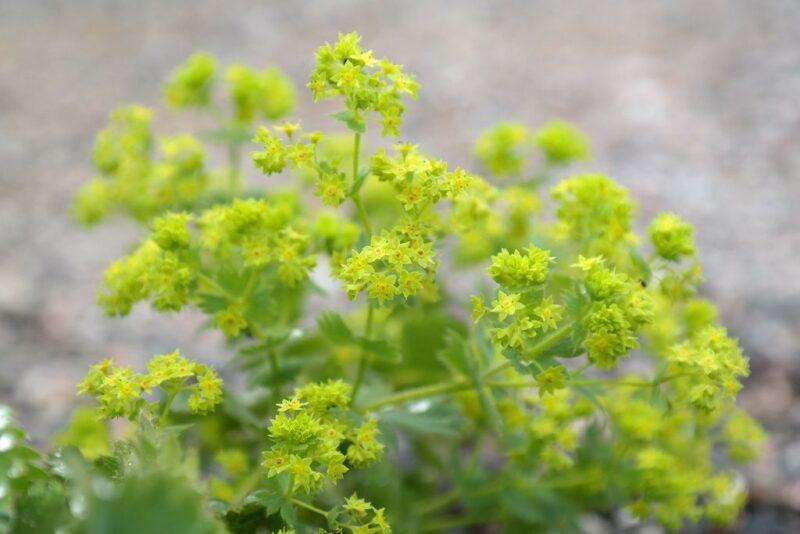 Alchemilla mollis (lady's mantle) - flowers
