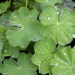 Alchemilla mollis (lady's mantle) - how to plant