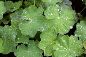 Alchemilla mollis (lady's mantle) - how to plant