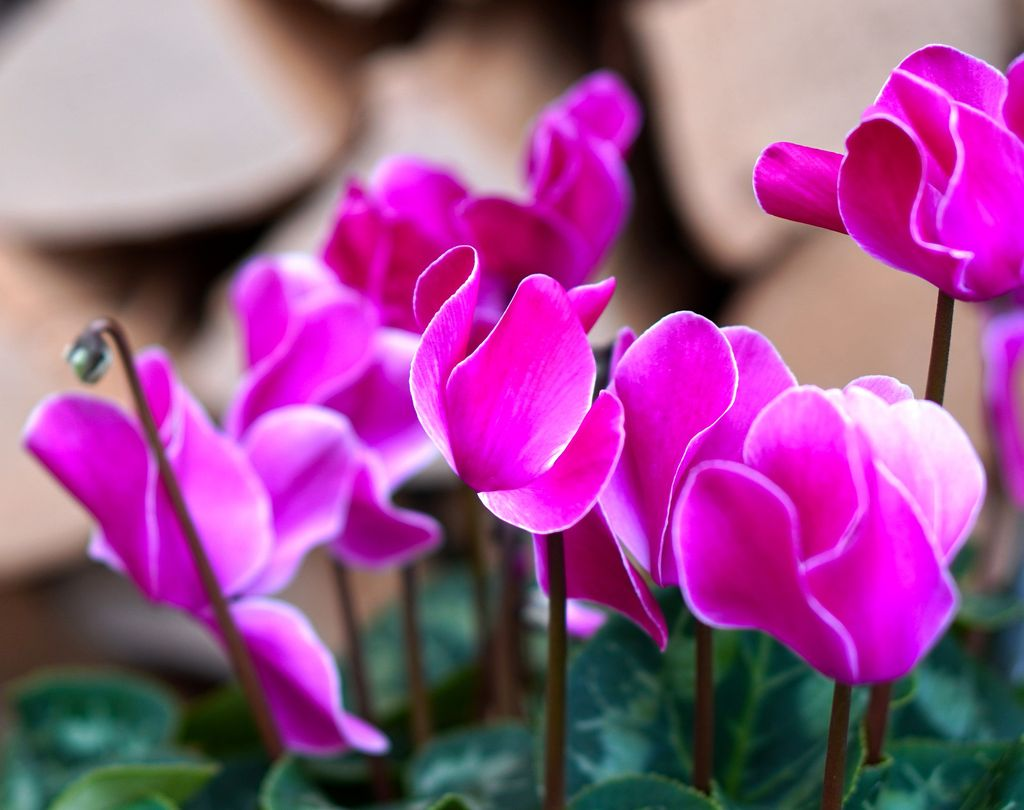 How to plant cyclamen