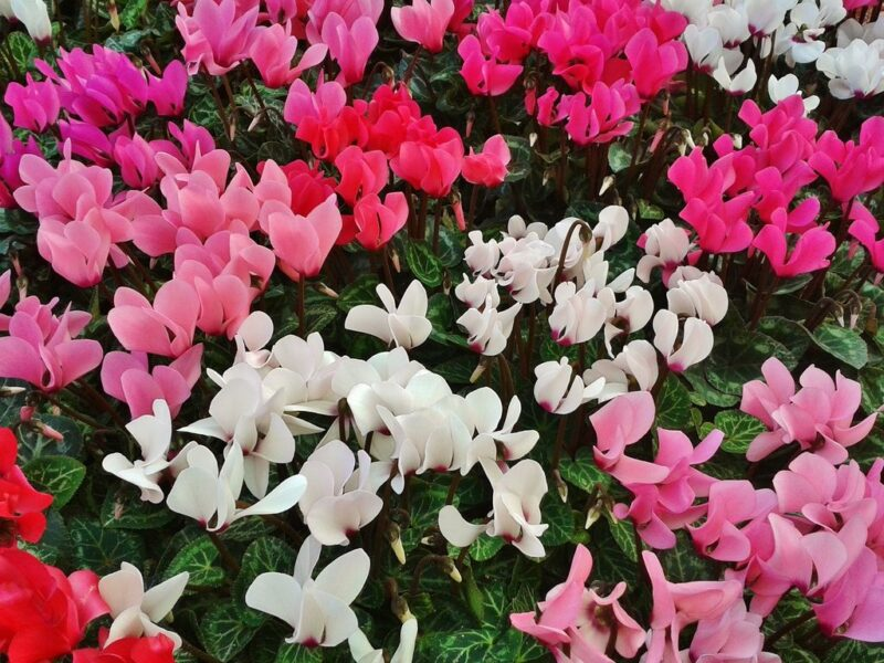 How to plant cyclamens