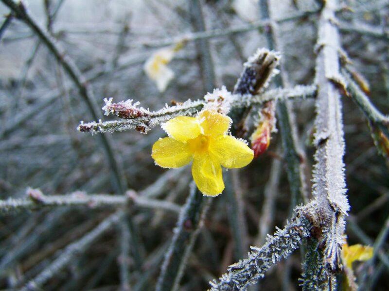 Jasminum nudiflorum (Winter Jasmine) - flowering in winter frost