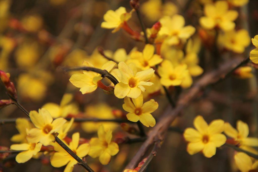 Jasminum nudiflorum (Winter Jasmine) - how to plant