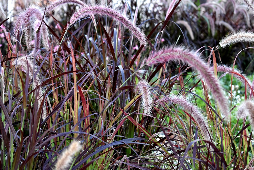 Pennisetum advena 'Rubrum' (Fountain grass 'Rubrum')